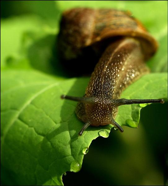 Snail by Heffo1