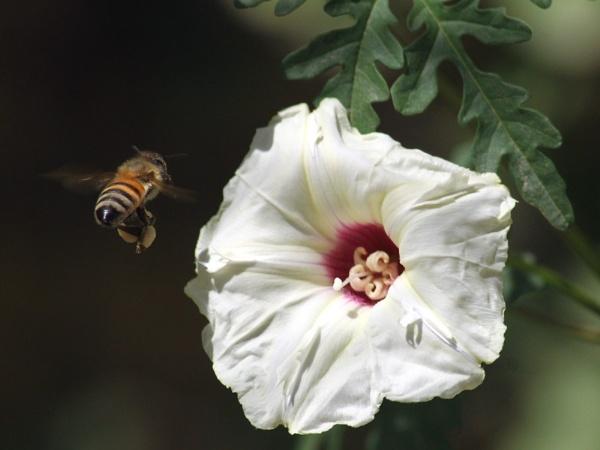Bee Landing.. by HamedKhazaei
