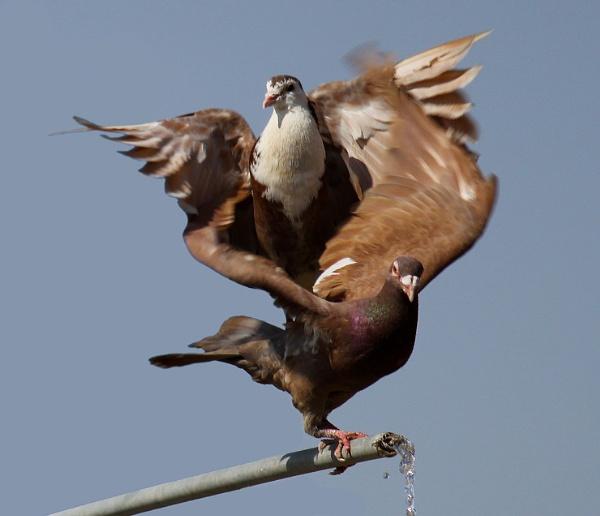 Pigeon Dancing... by HamedKhazaei