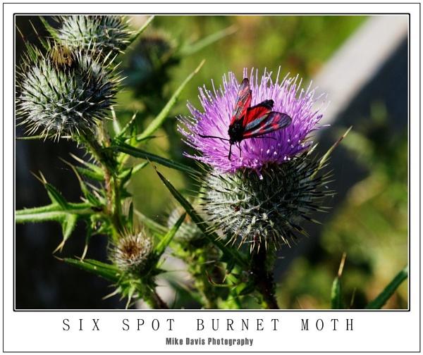 Six Spot Burnet by Alandyv8