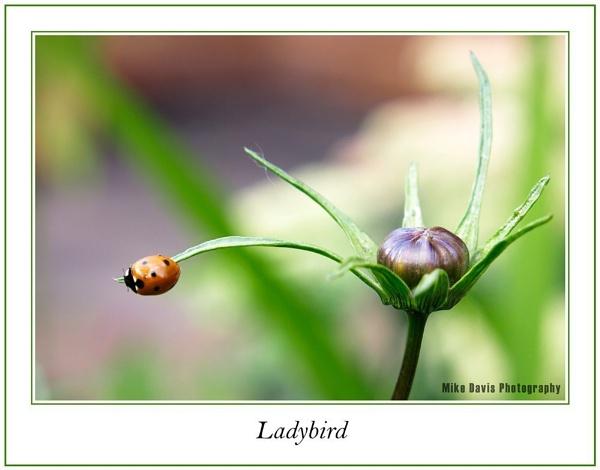 Ladybird by Alandyv8