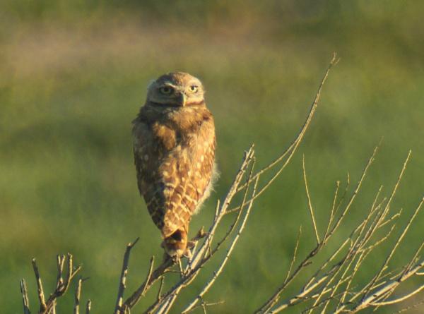Burrowing Owl by StuartDavie