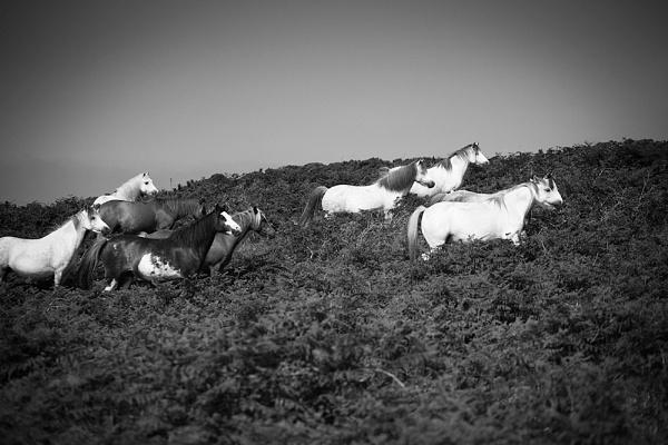 Welsh Ponies by malum