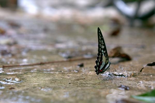 A butterfly from Sedim, Kedah. by faizul_md
