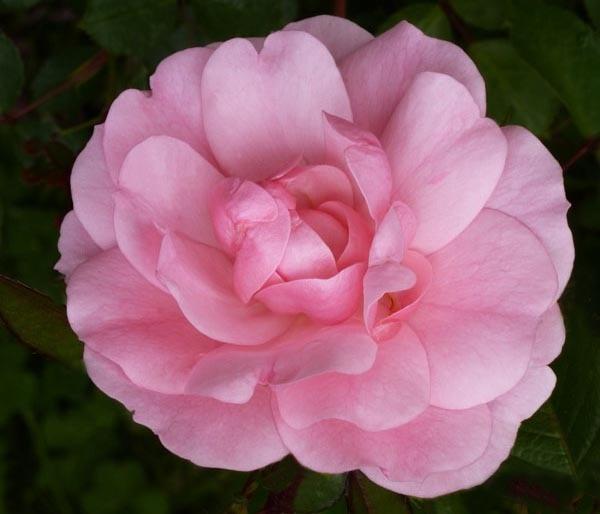 pink by evelen