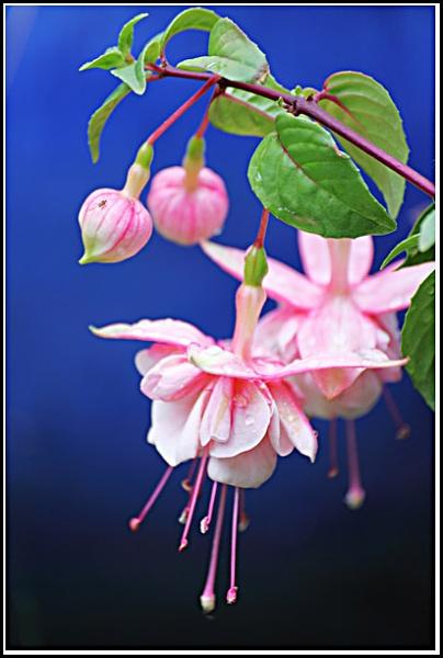 Fuchsia by davart