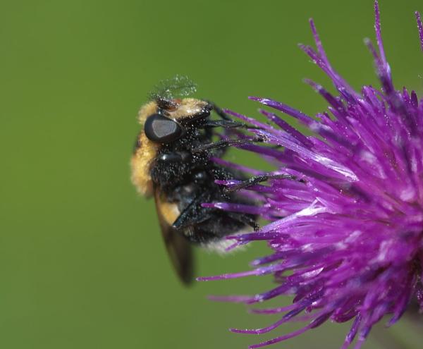 Black eyed Bee by Kool_Kat