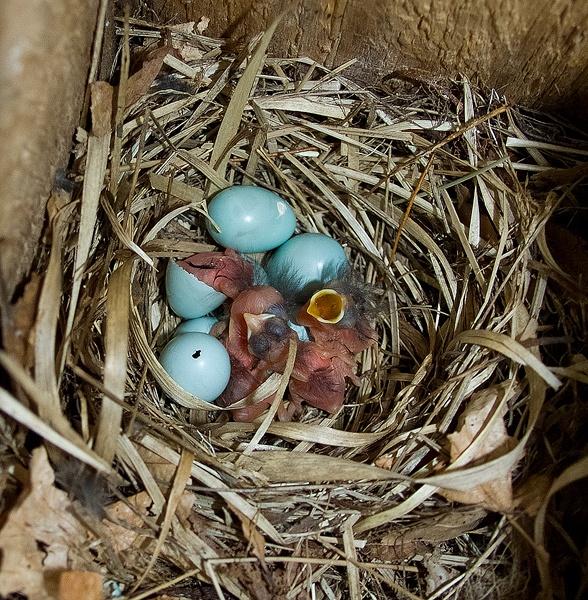 Pied Flycatcher Nest by Platchet