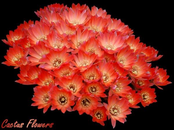 Cactus Flowers by stevebidmead