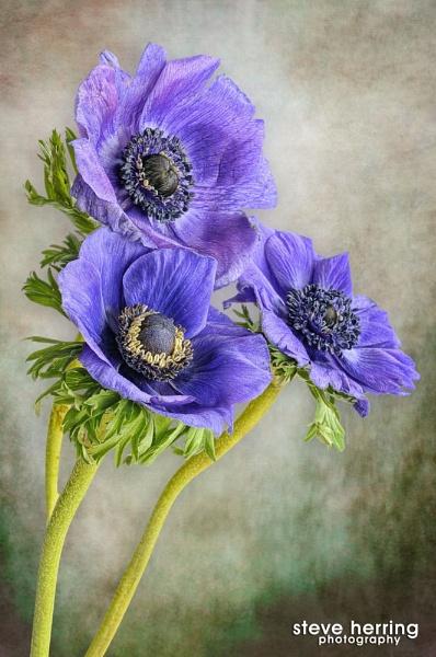 Anemone. by sherring