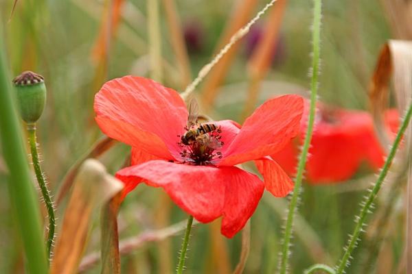 Poppy by susanbarton