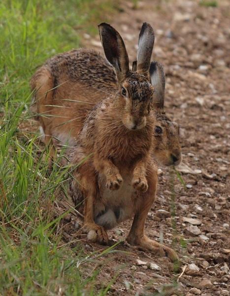 Hares at play by jayjay52