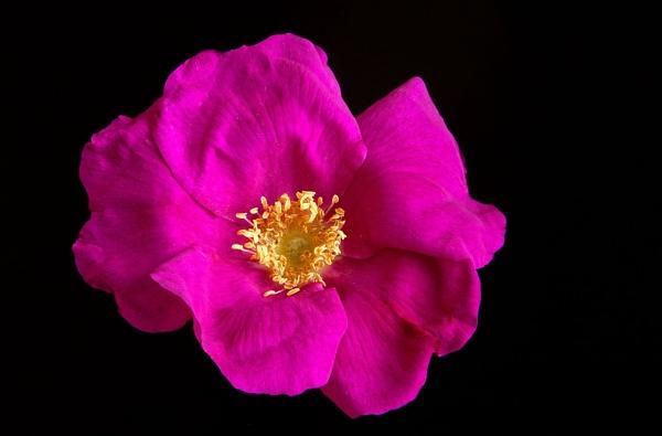 Bush Rose by Dado
