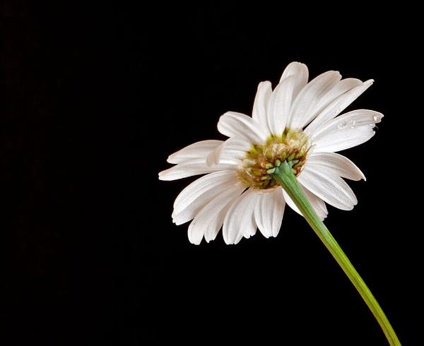 Rear of a Daisy by Dado