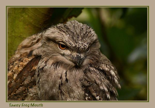 Tawny Frogmouth by Joeblowfromoz