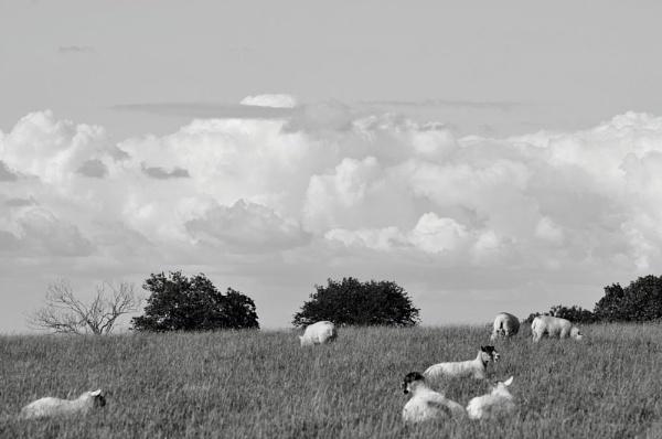 Sheepish by billid