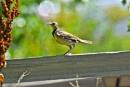 Meadow lark by alextidby