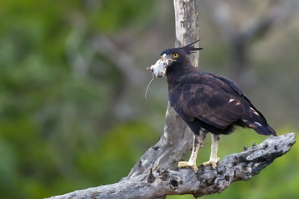 Succesful Long Crested Eagle by DennisT