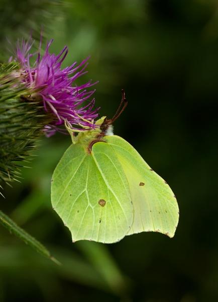 Brimstone Butterfly by Dan1984