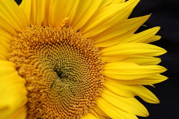 Sunflower by Tsampika
