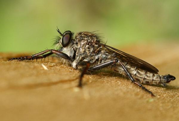 Brown heath Robber fly, Machimus cingulatus (male) by Vpics