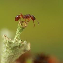 Red garden ant