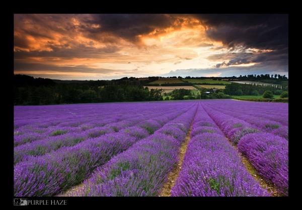 Purple Haze by gvet
