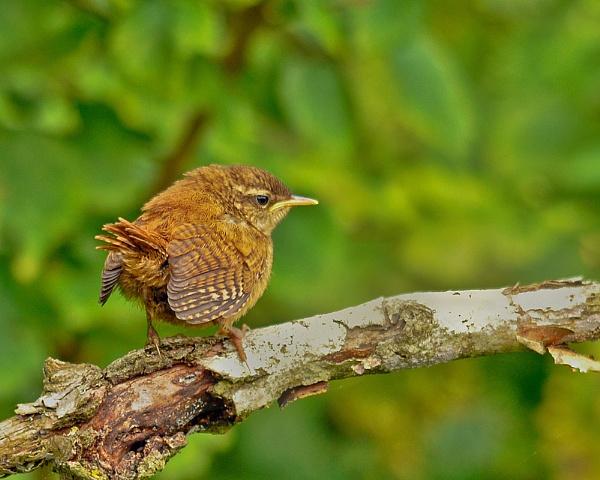 Wren ( Juvenile ) by Devon_Wild