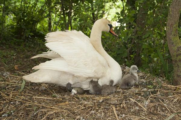 Swan by lj090876