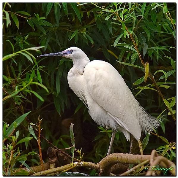 Little Egret by tommyld