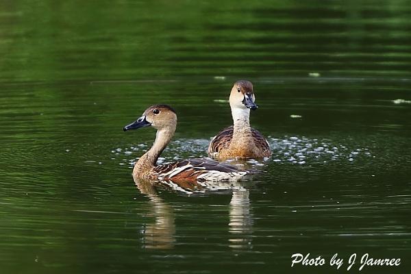 wild ducks by JJamree