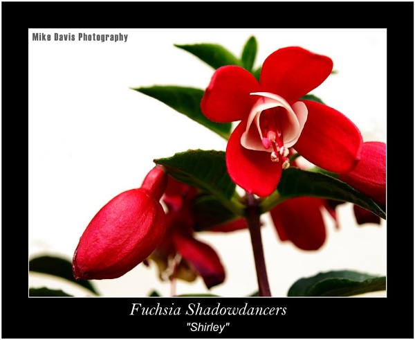 Red Fucshia by Alandyv8