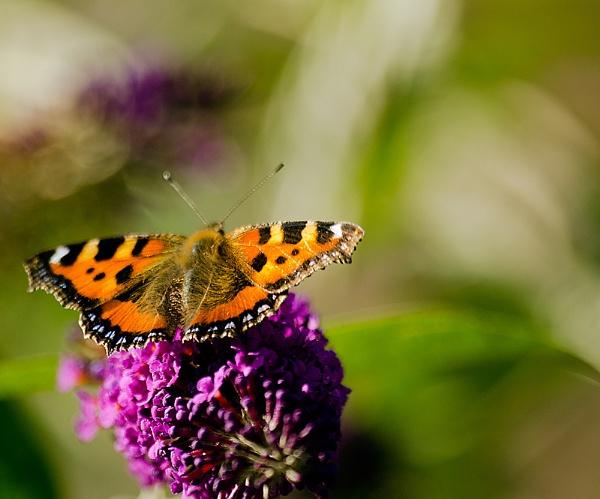 flutterfly by rocky41