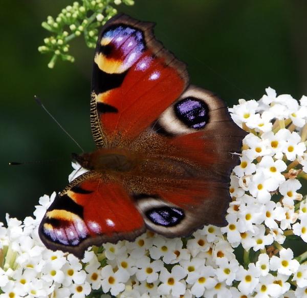 Butterfly by sazzykins