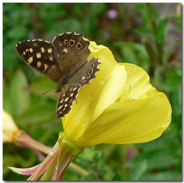 speckled evening primrose by bunbeam