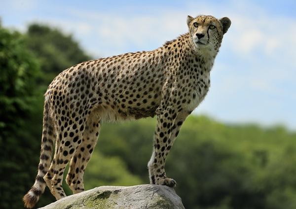 Cheetah by MikeMar
