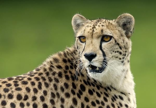 Cheetah 2 by MikeMar
