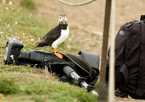 Puffins prefer Nikon by samfurlong