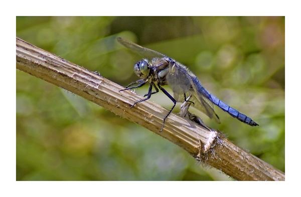 Blak-tailed Skimmer (male) by Henrytom