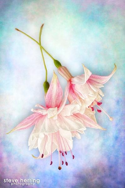 Fuchsia. by sherring