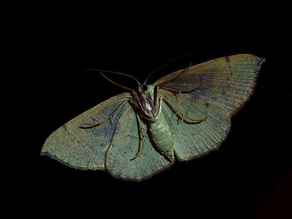 The Moth by Delbon