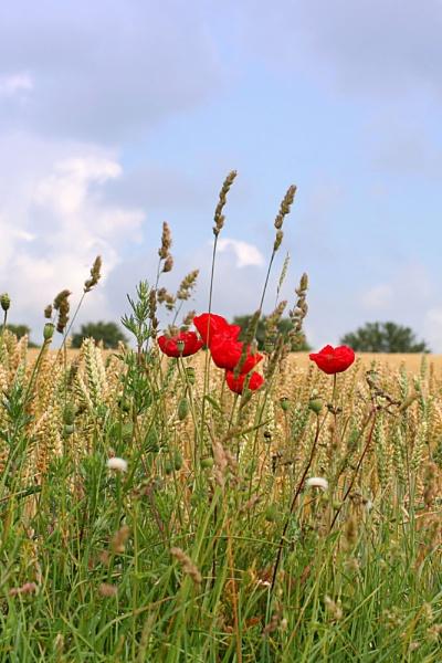Poppies in a cornfield by susanbarton