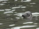 seal peeping by whiteswan01
