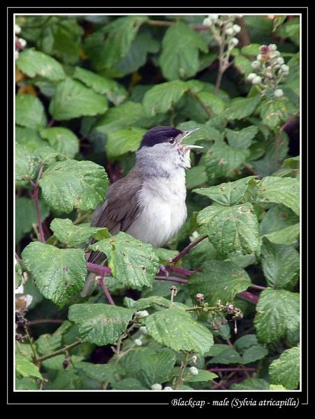 Blackcap - male (Sylvia atricapilla) by Ray42