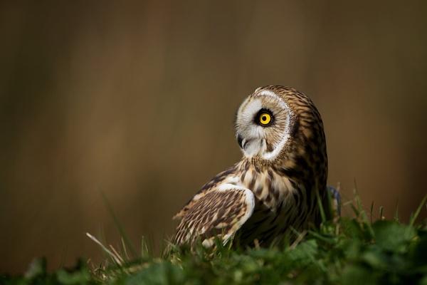 Short Eared Owl by bridge99