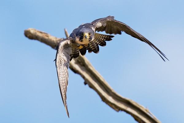 Peregrine falcon by bridge99