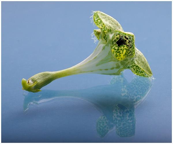 Fly trap flower