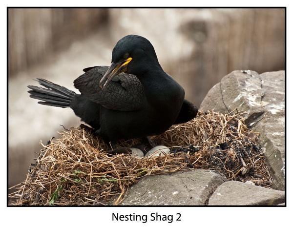 Nesting Shag by paddyman