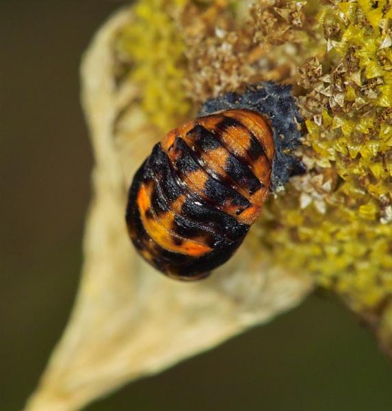 Ladybird Pupae by Gemma9
