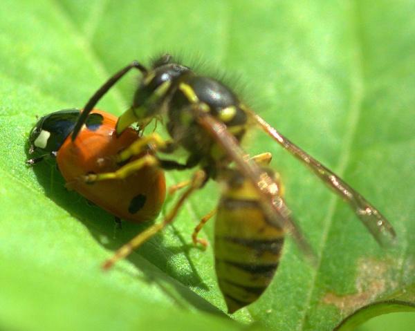 Wasp + Ladybug by EventHorizon